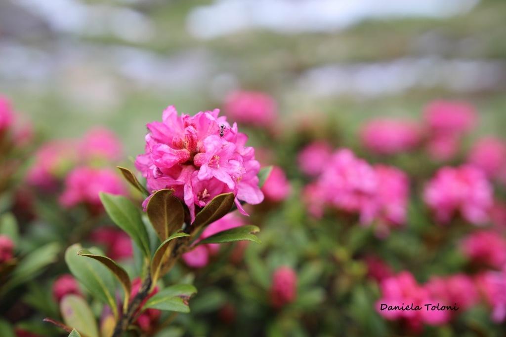 rododendro-1024x683